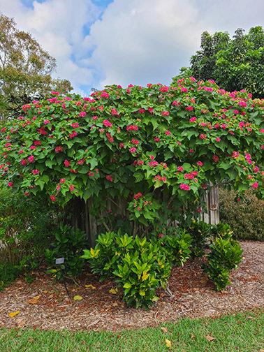 January: Tropical Rose Hydrangea