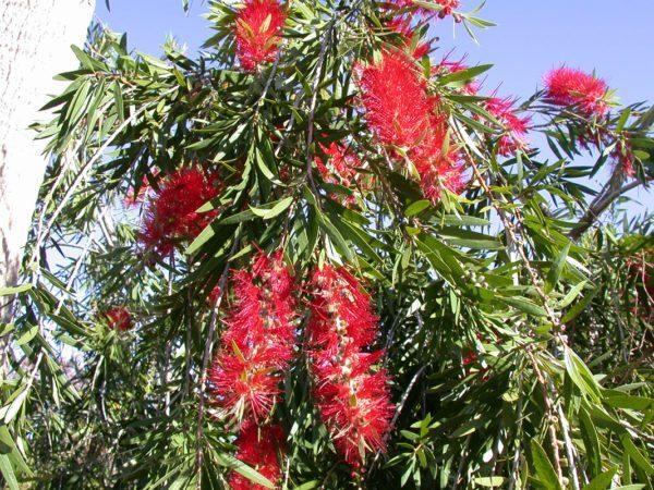 Feb_Bottlebrush-Tree-Callistemon-viminalis-600x450