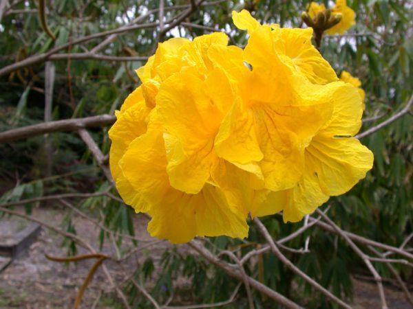 Feb_Gold-Trumpet-Tree-Tabebuia-chrysotricha-600x450