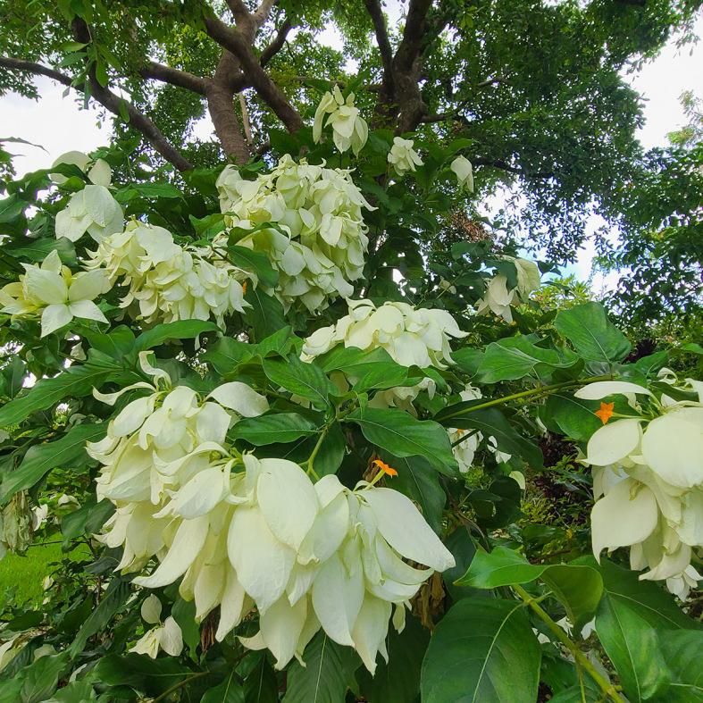 08_Aug_Summer-Poinsettia_Mussaenda-philippica-Aurorae