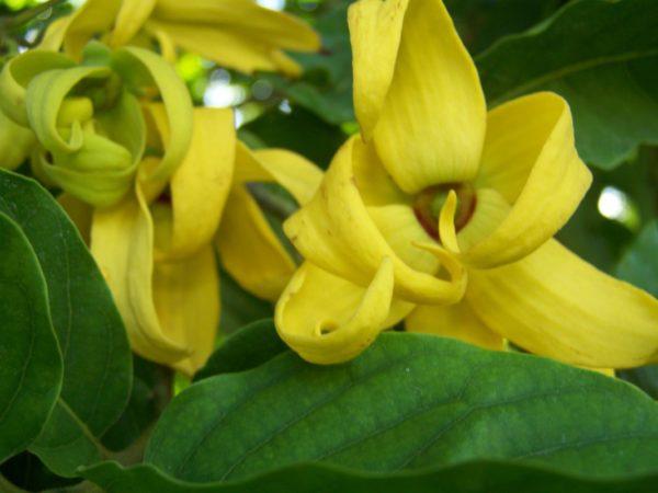 Aug_Ylang-Ylang-Perfume-Flower-Cananga-odorata-600x450