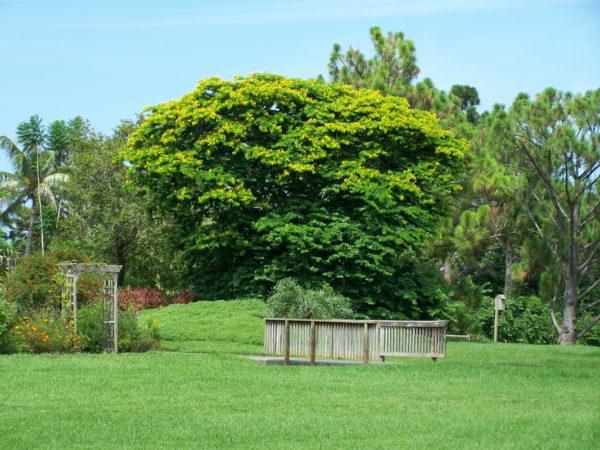 July_Verawood-Bulnesia-arborea-600x450