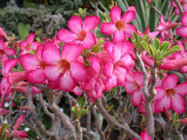 April_Desert-Rose-Adenium-obesum-600x450