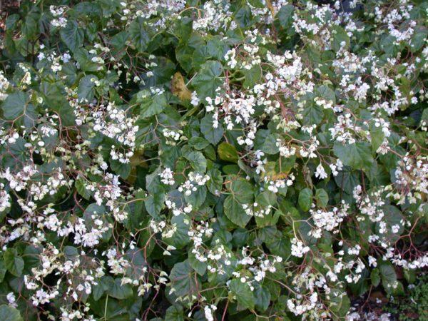 March_White-Angel-Begonia-B.-odorata-600x450