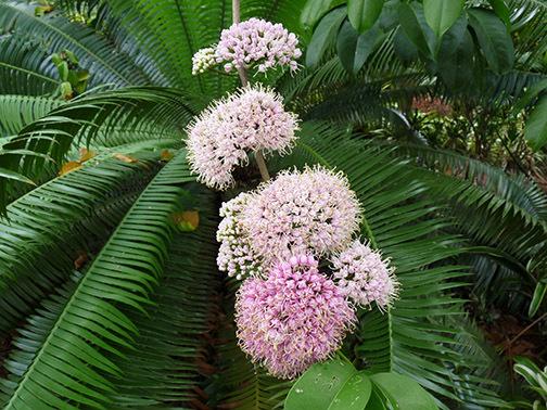 06_June_Pink-Doughwood-blooms