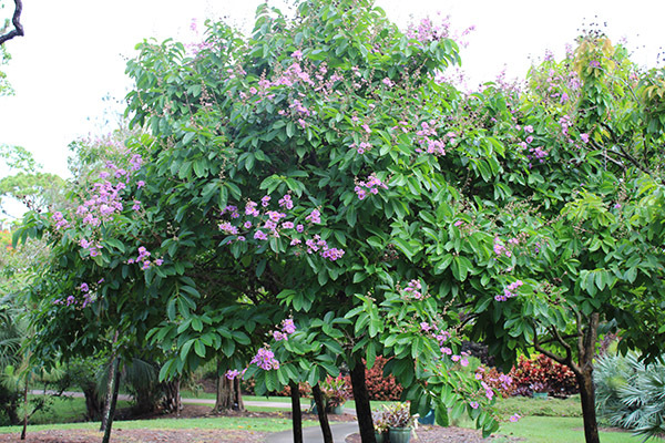 May_Queen-Crepe-Myrtle-Lagerstroemia-speciosa-May-2020