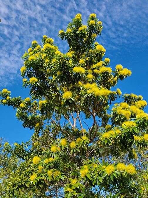12_Dec_Golden-Penda-Xanthostemon-chrysanthus-504x672-1