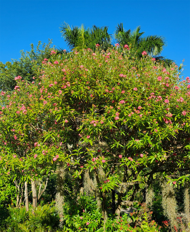 12_Dec_Panama-Rose-bush_Rondeletia-leucophylla