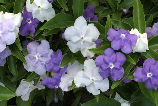 Dec_Yesterday-Today-Tomorrow_brunfelsia-paucifolia-600