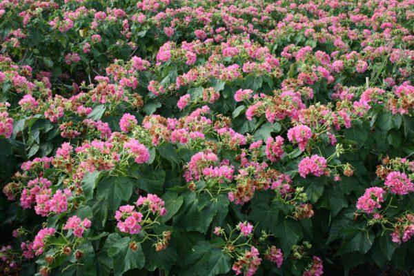 Nov_Tropical-Rose-Hydrangea-Dombeya-Seminole-600x400
