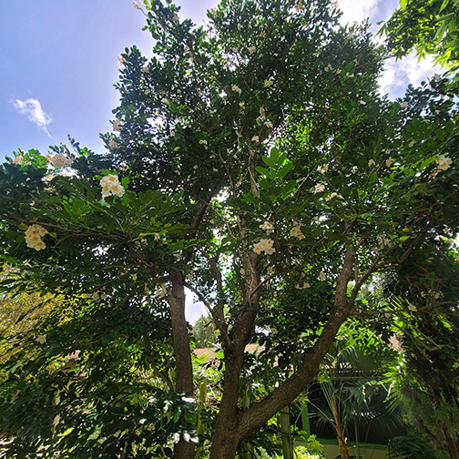 09_Sept_Dwarf-Tree-Jasmine_Radermachera-Kunming