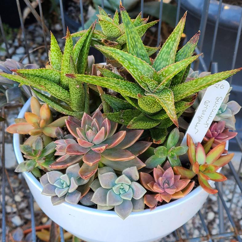Mixed Succulent Garden