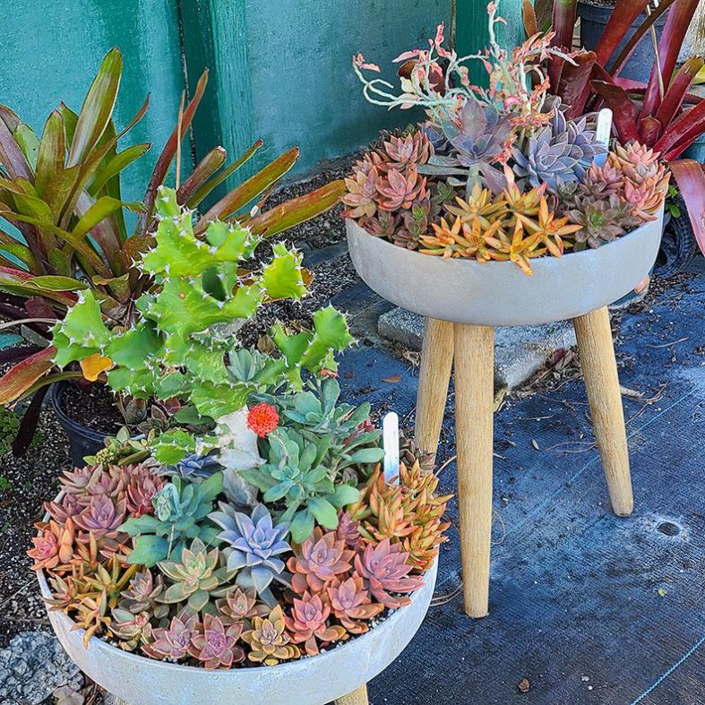 Larger Mixed Succulent Gardens