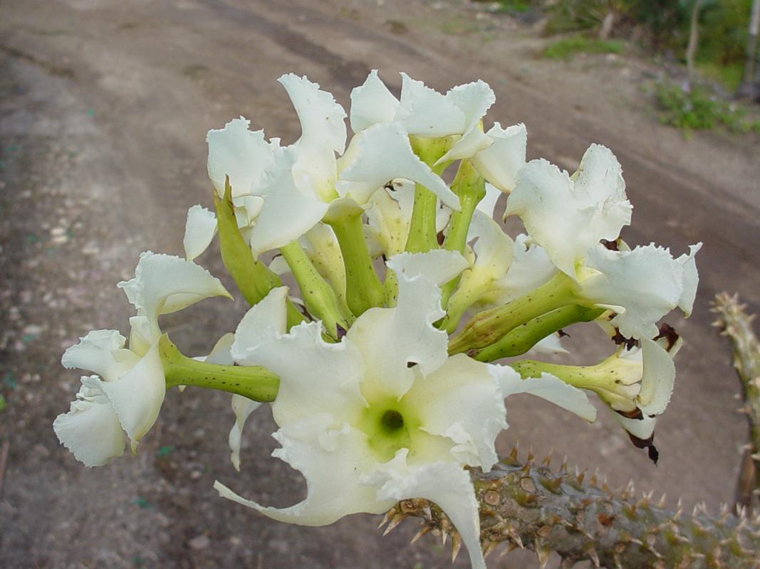 Mandritsara - Pachypodium rutenbergianum