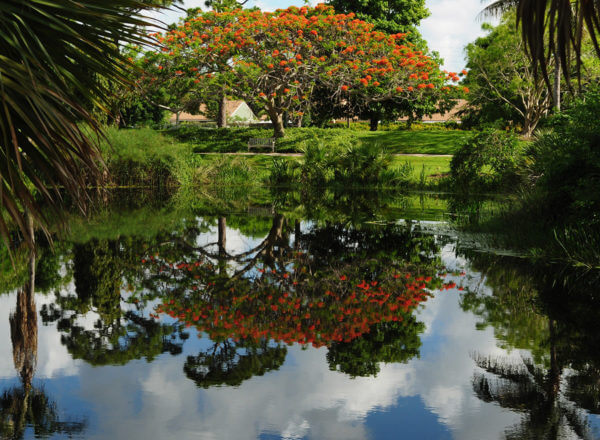 Royal Poinciana on lake